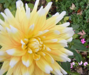 The only dahlia I've grown successfully. It's kinda gorgeous. DJW