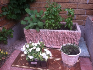 Part of the container herb garden by Deborah's kitchen door. Pink container: sage, cilantro, basil. White impatiens waiting to be planted elsewhere. White container: thyme.