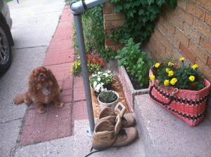 Opie's pretty proud of my backdoor container herb garden, can't you tell? Sage, cilantro, basil, thyme. In the straw purse: marigolds are hiding the rosemary.